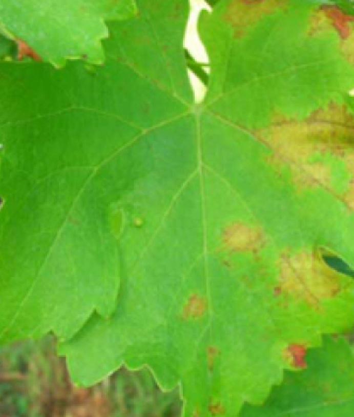 Les maladies culture La culture de la vigne Mildiou de la vigne