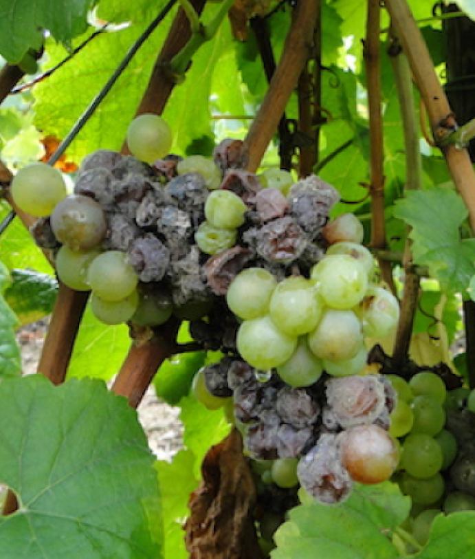 Les maladies culture La culture de la vigne Botrytis de la vigne