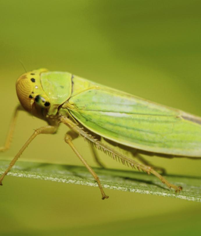 Les ravageurs culture La culture de la vigne La cicadelle verte de la vigne