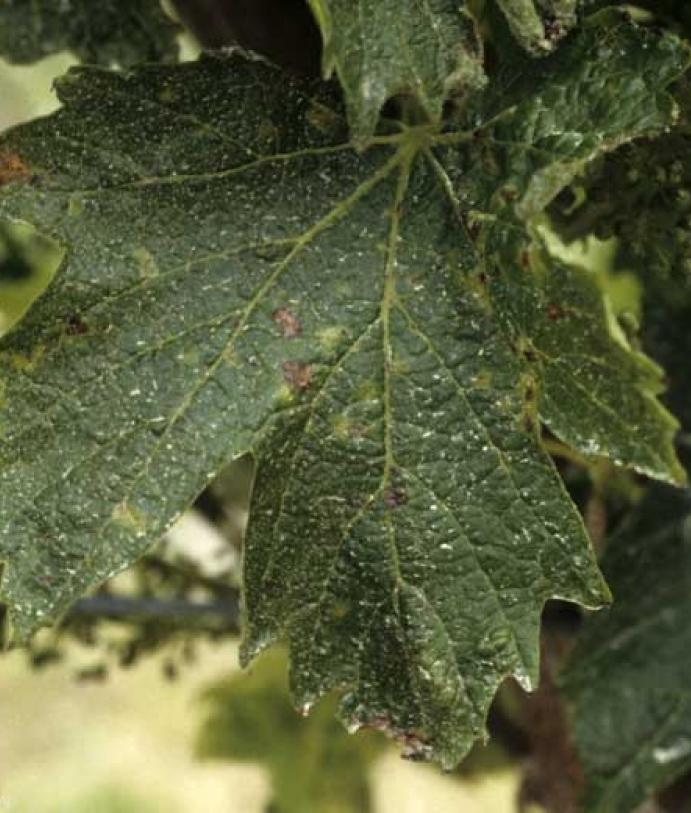 Les maladies culture La culture de la vigne Nécrose bactérienne de la vigne