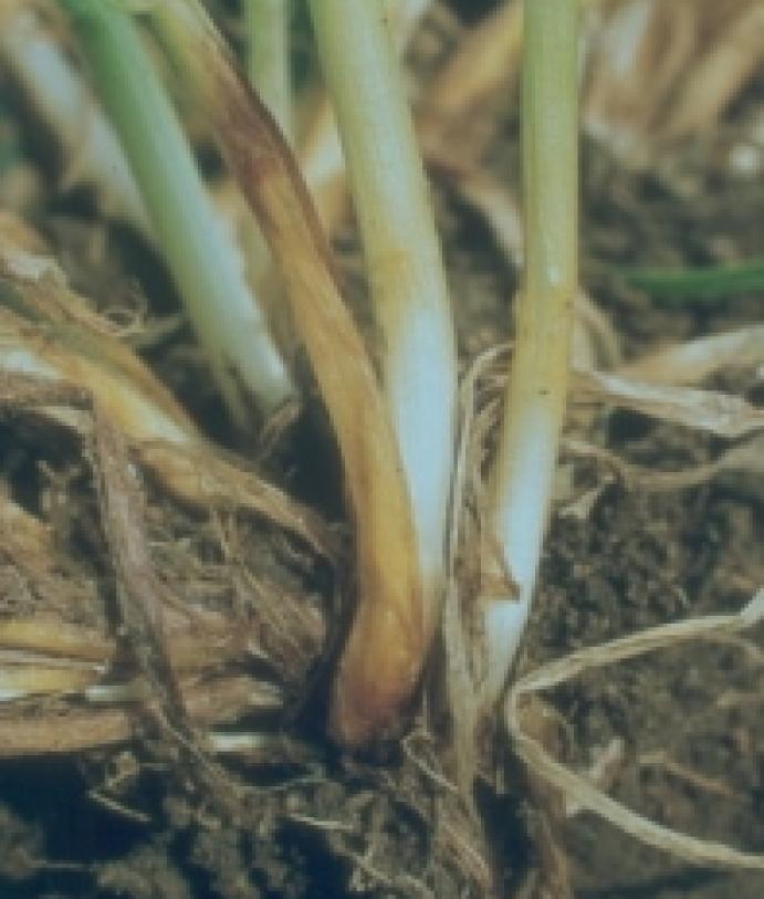 Les maladies culture Les Grandes Cultures Céréales Piétin-verse de la céréale