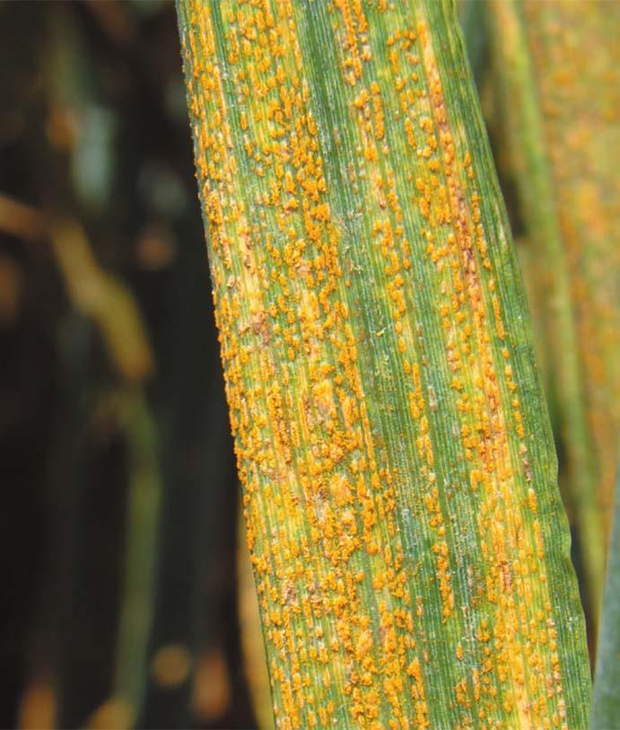 Les maladies culture Les Grandes Cultures Céréales Rouille jaune de la céréale