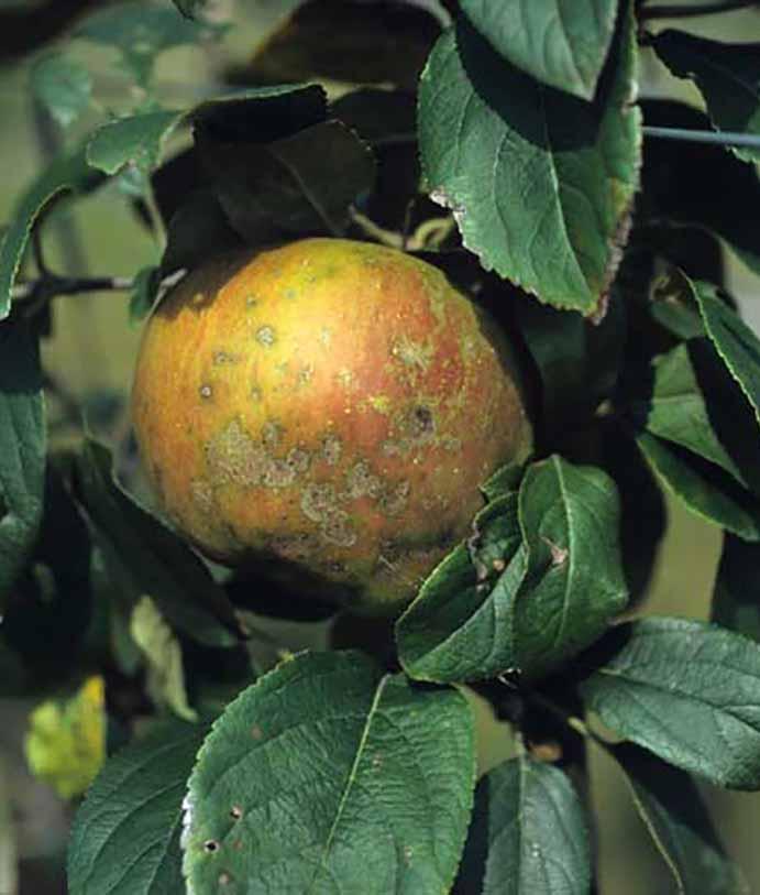 Les maladies culture Les arbres fruitiers Tavelure des arbres fruitiers