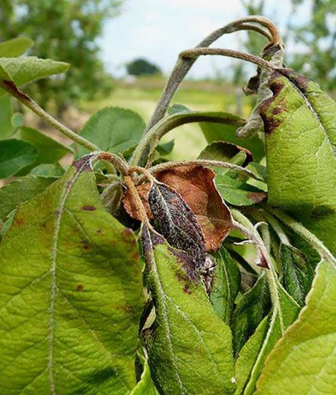Les maladies culture Les arbres fruitiers Feu bactérien des arbres fruitiers