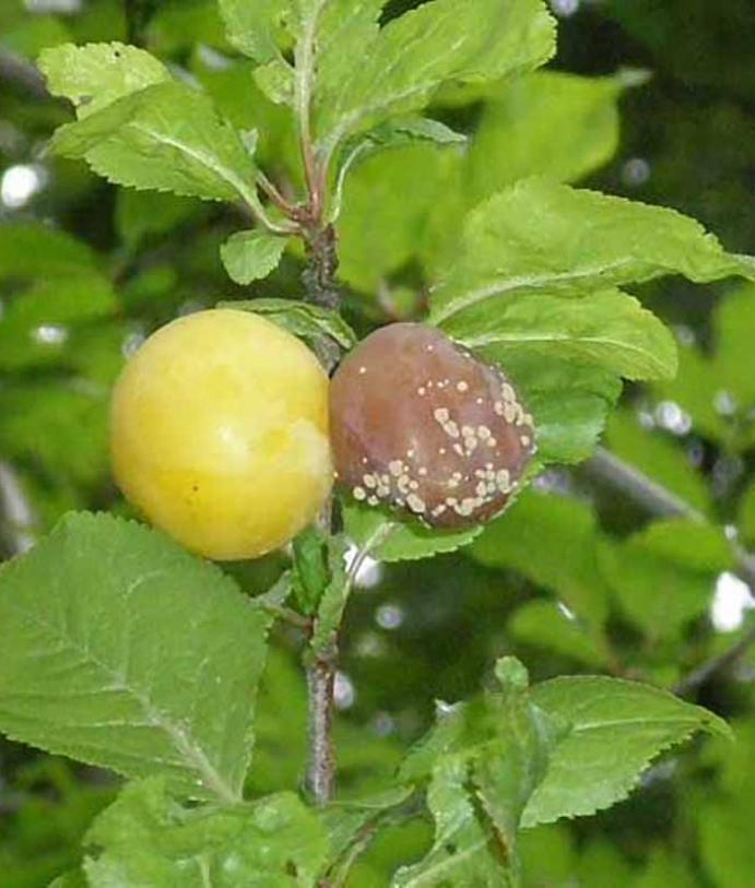 Les maladies culture Les arbres fruitiers Moniliose des arbres fruitiers