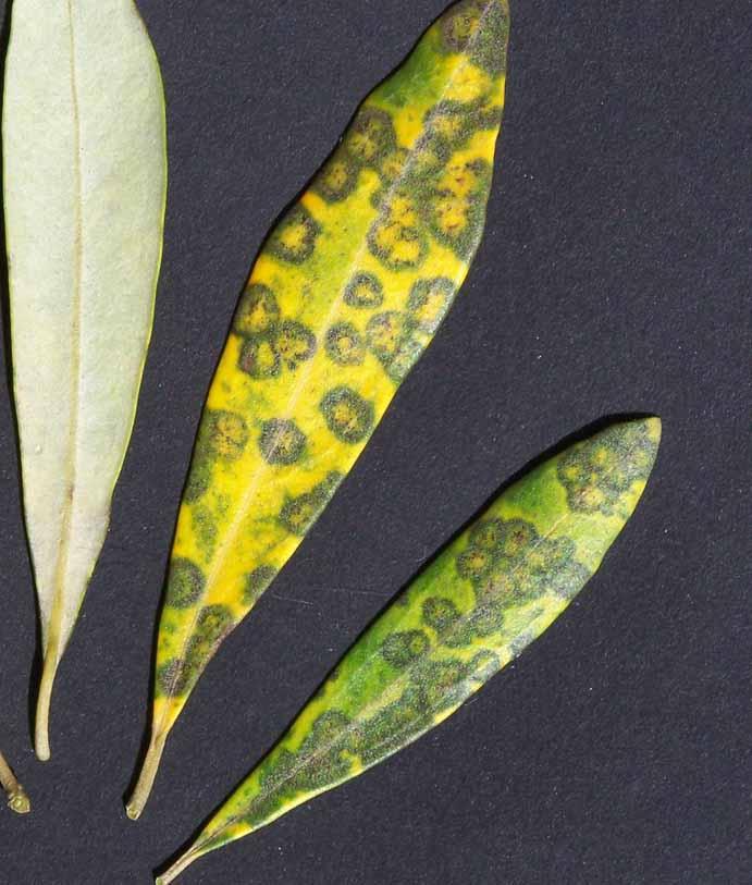 Les maladies culture Les arbres fruitiers Oeil de paon de l'olivier
